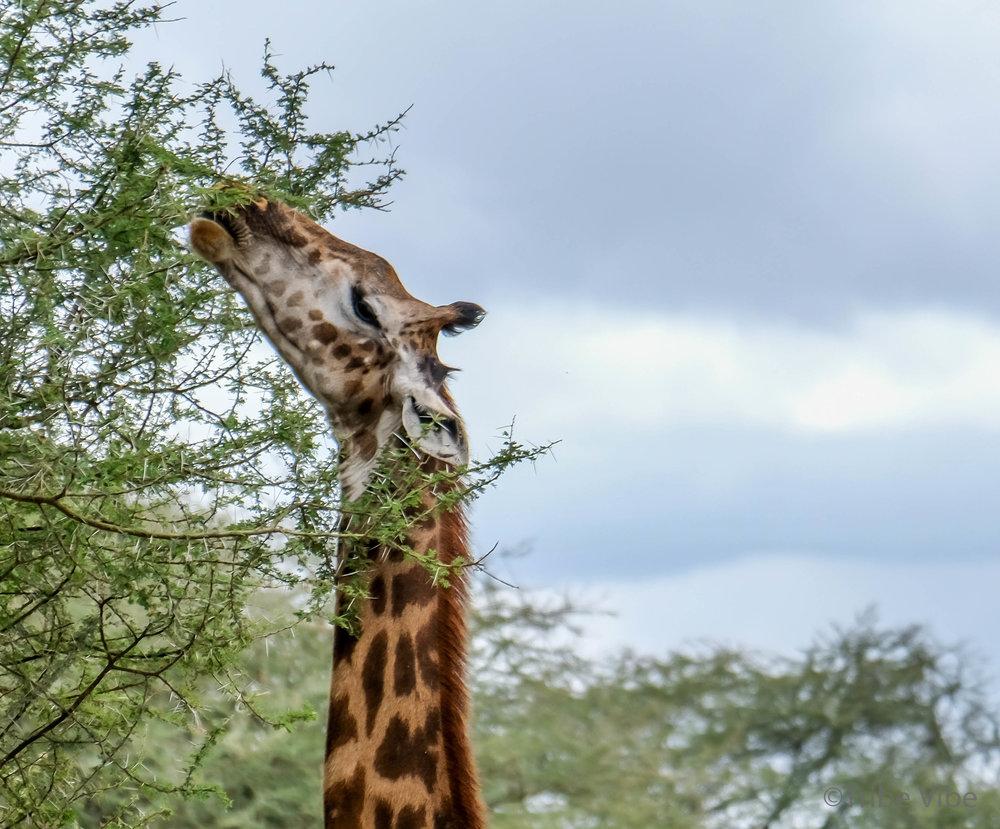 Tarangire Giraffe15.jpg