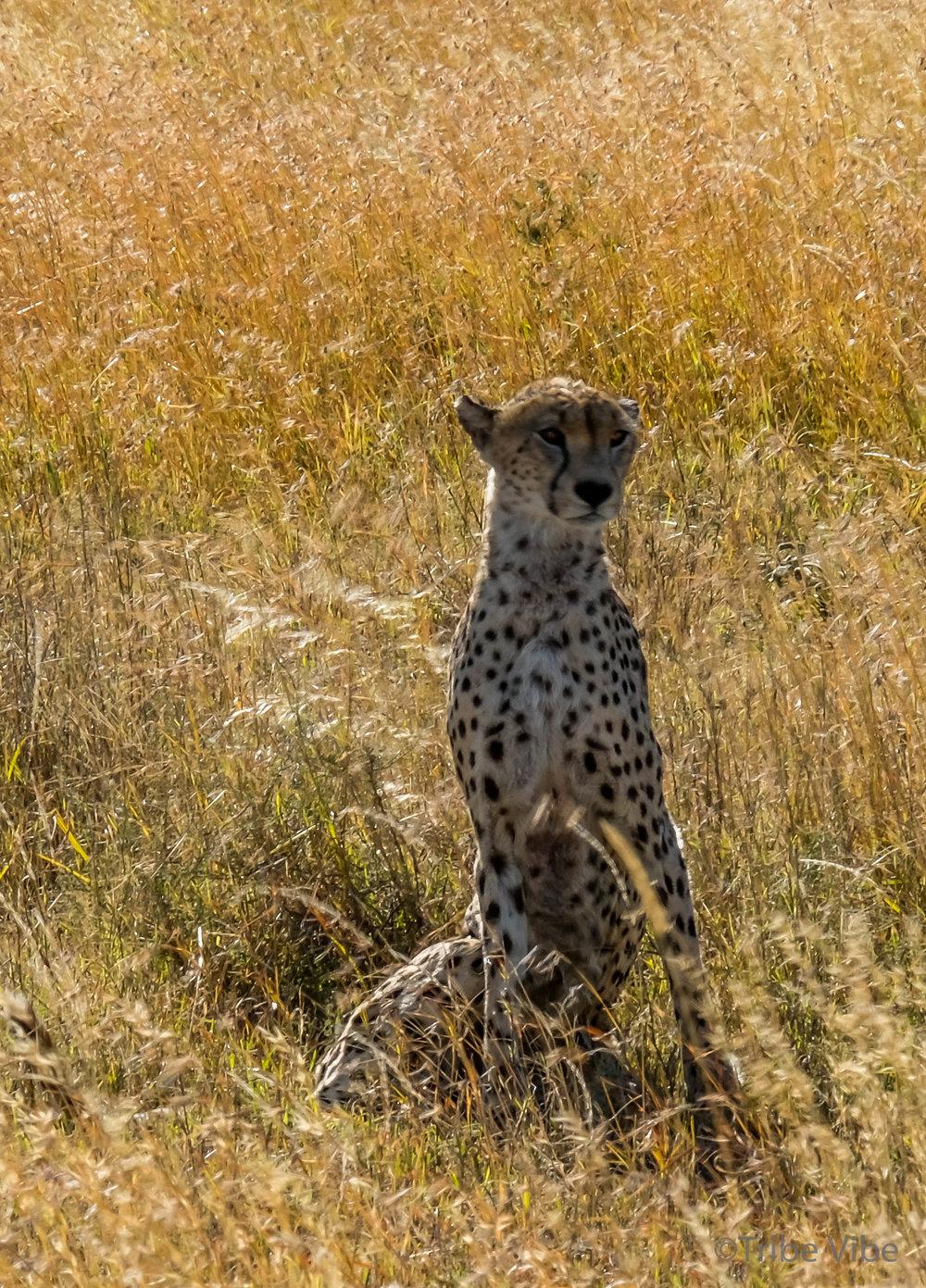 cheetah-13.jpg