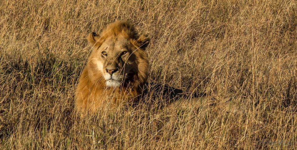 lions-16.jpg