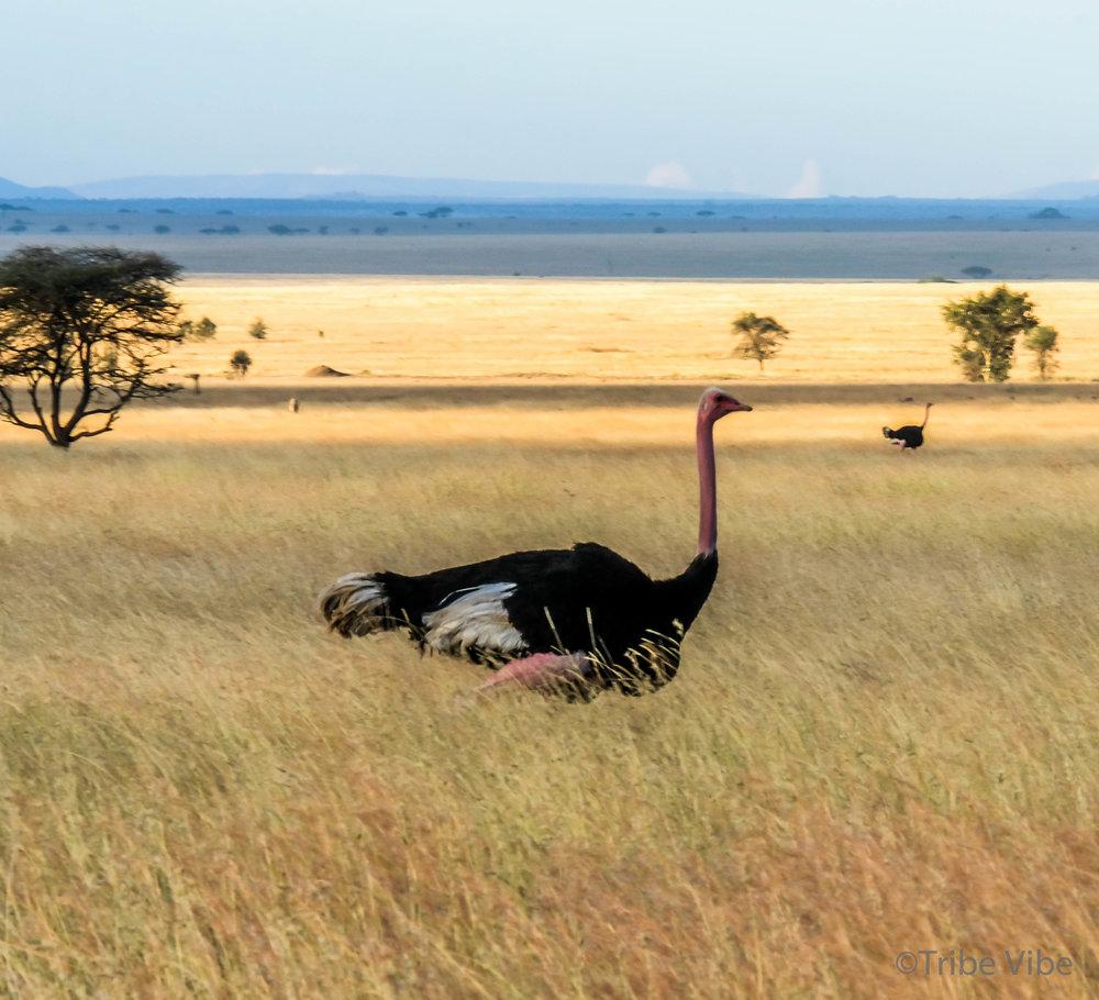 ostrich-3.jpg