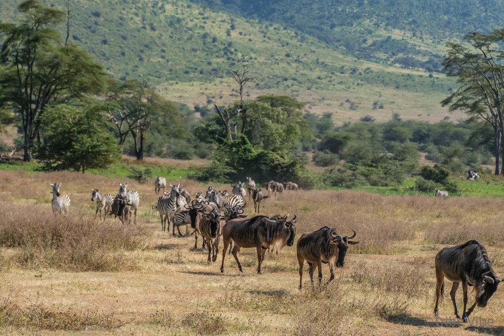 wildebeest22.jpg