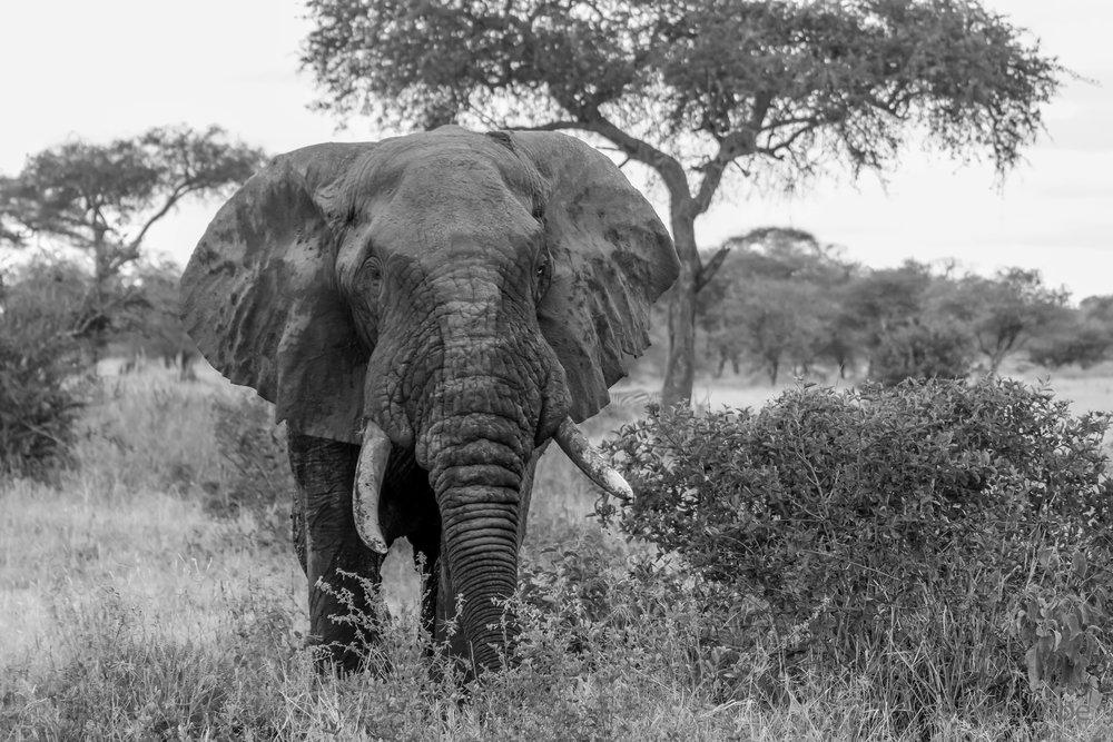 Tarangire elephant12.jpg
