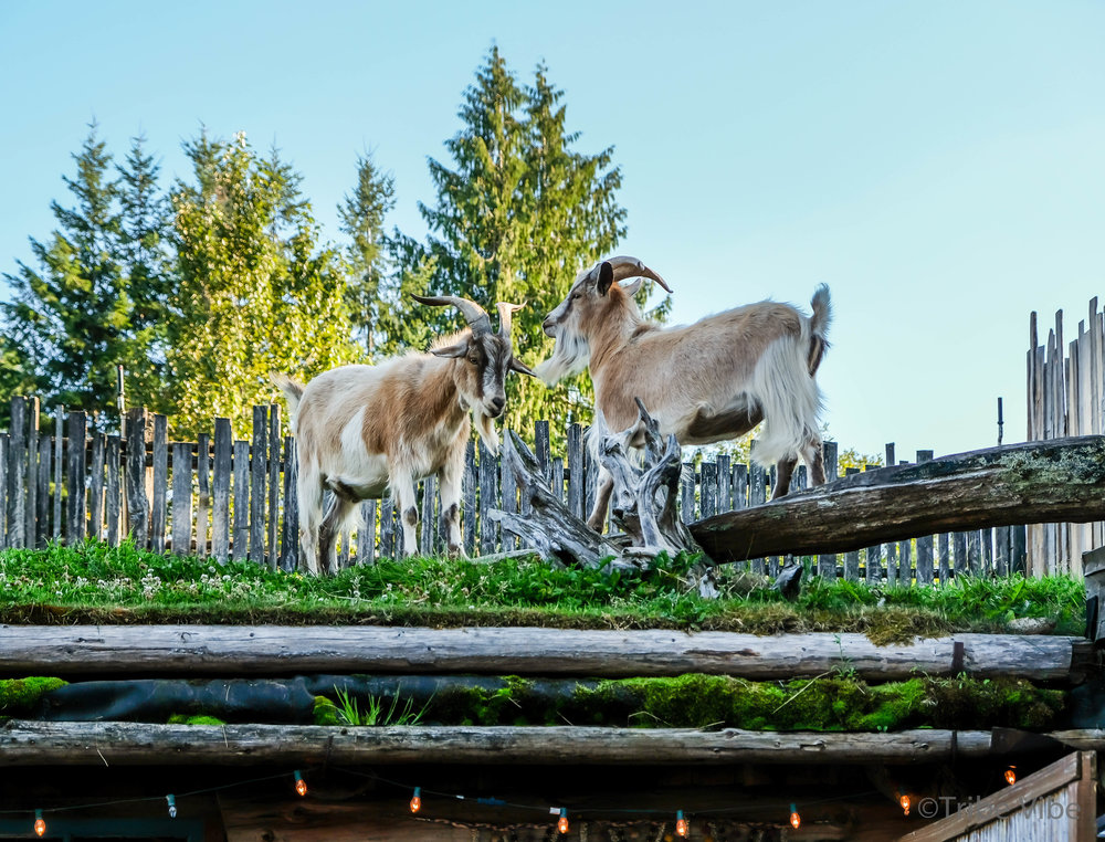 Goats ready to lock horns at Coombs Old Country Market