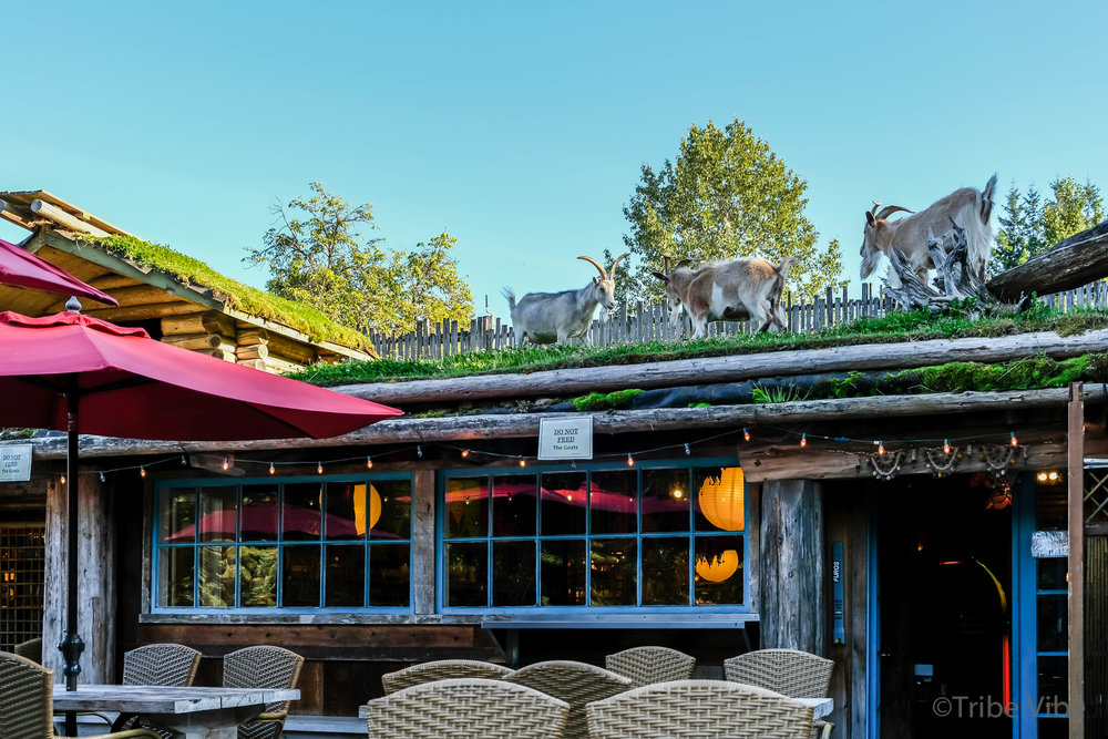 Coombs old country market goats9.jpg