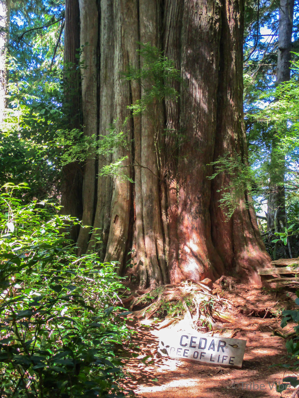 Tree of Life on Big Tree Trail, Meares Island, British Columbia