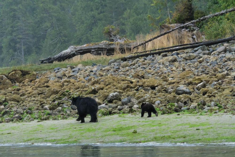 tofino bears45.jpg