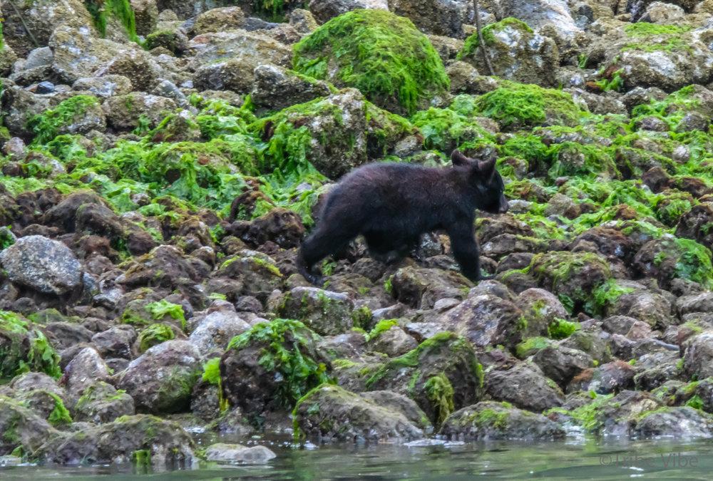 tofino bears52.jpg