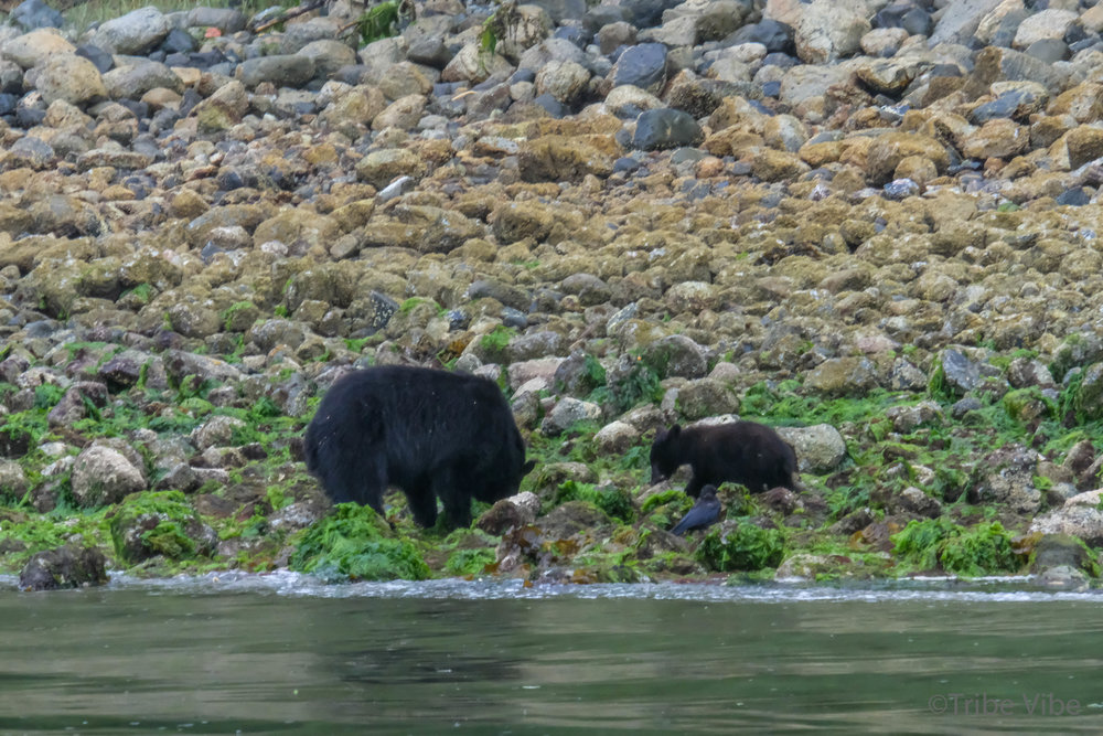 tofino bears35.jpg