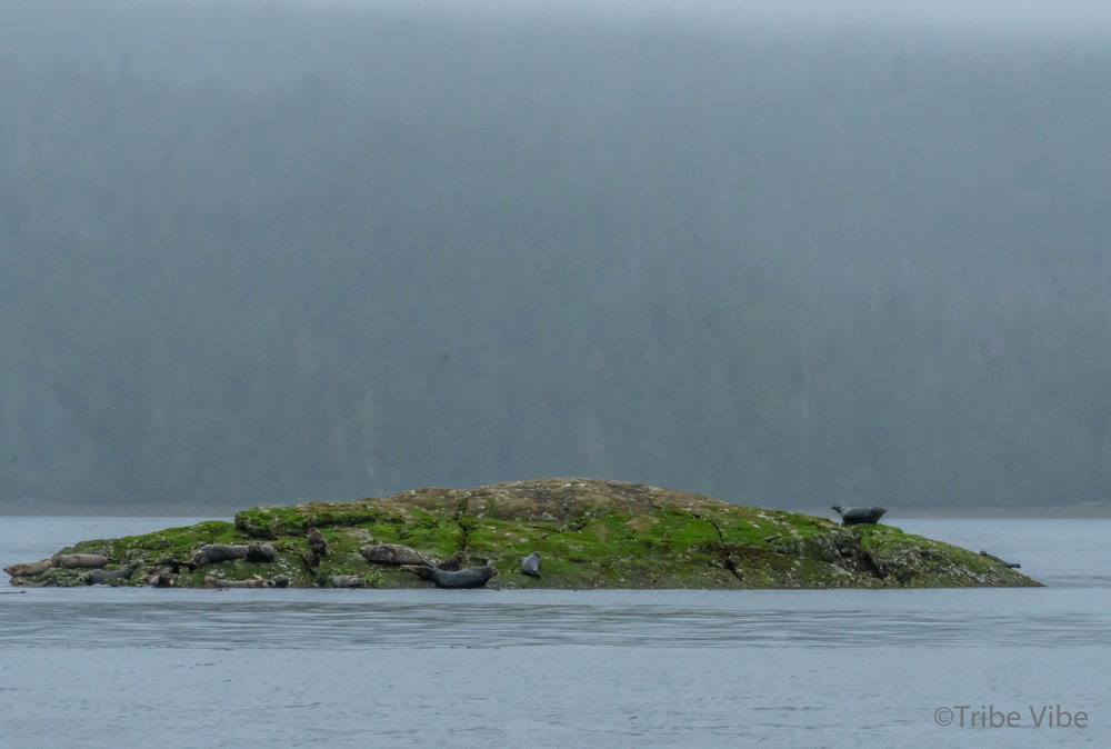 Misty day of bear and seal watching in Tofino, British Columbia