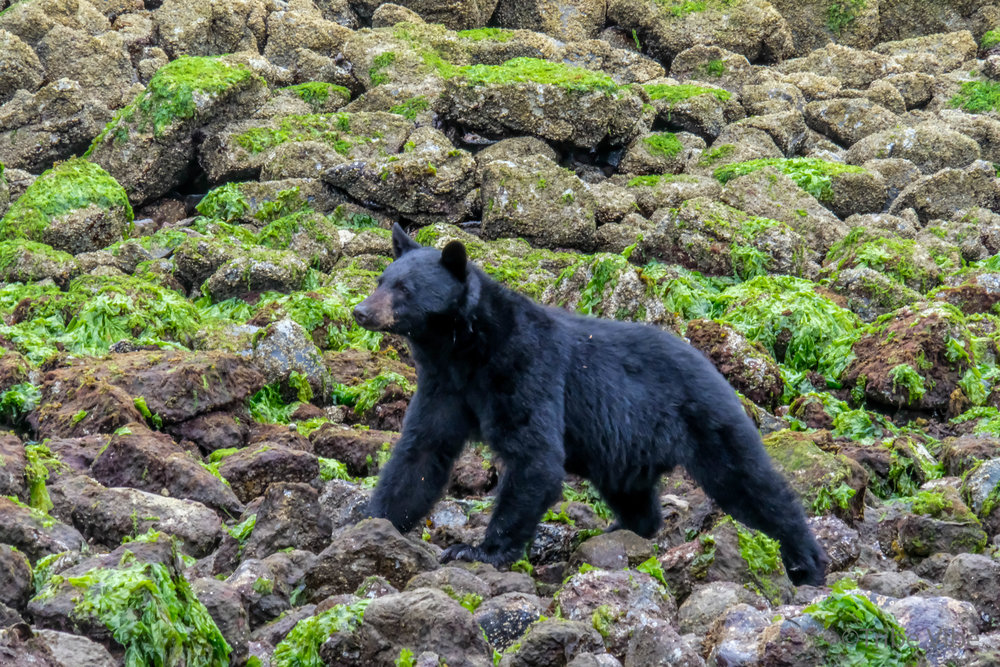 tofino bears27.jpg