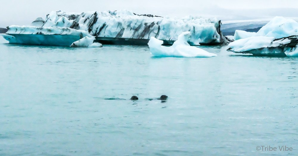 Watching the seals play at Jokularson Glacier Lagoon