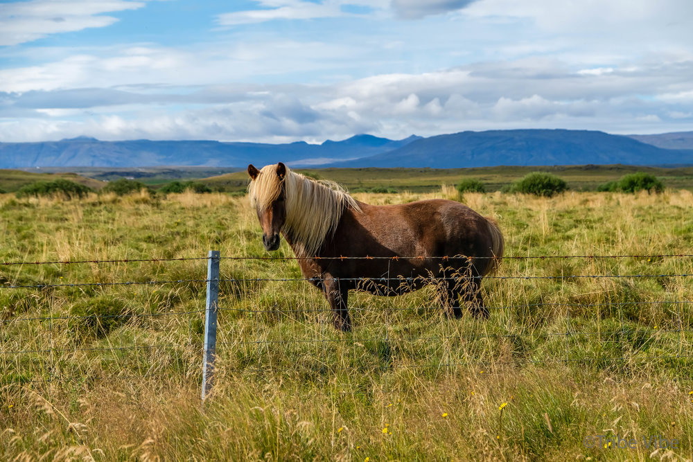 Icelandic Horses-5.jpg
