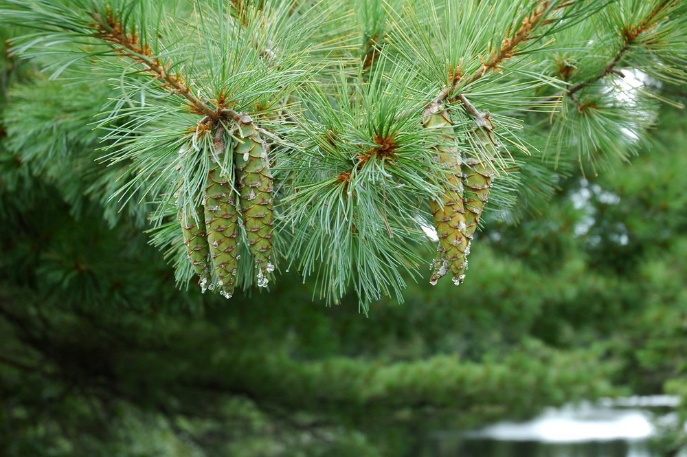 Pine dripping with new sap.JPG