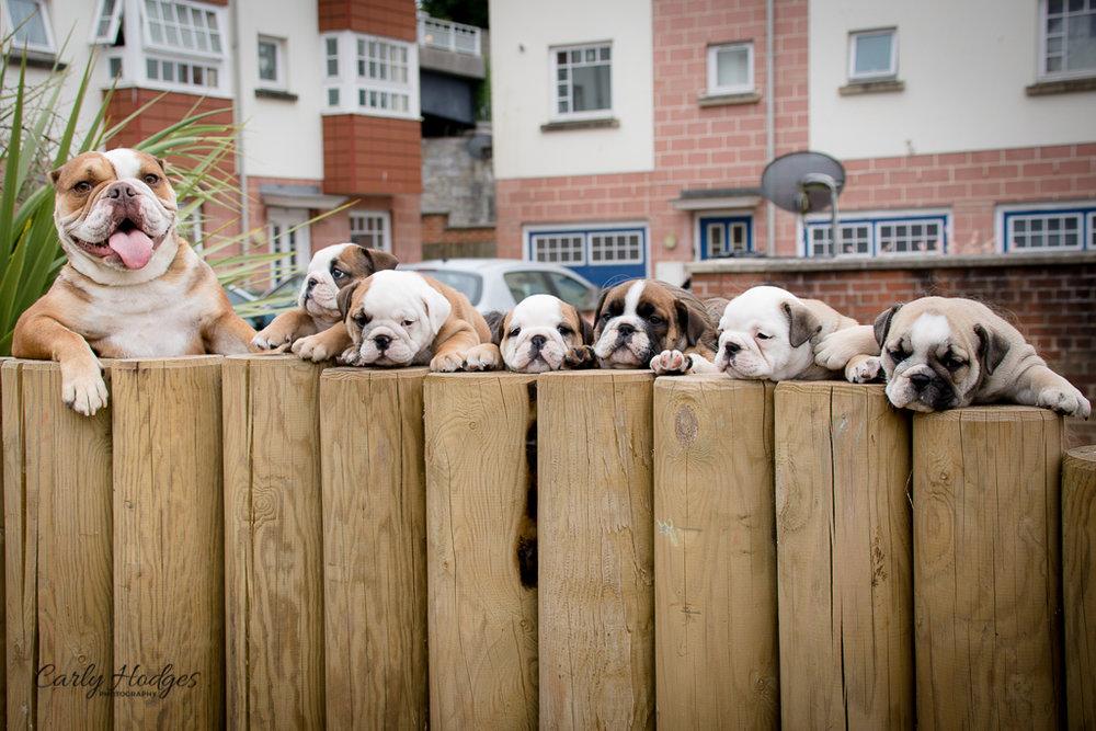 British Bulldogs-134.jpg