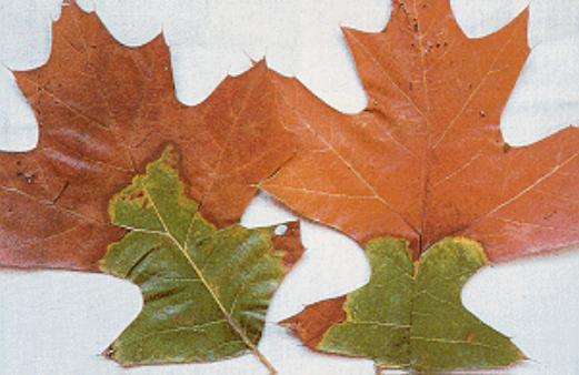 Oak Wilt.jpg