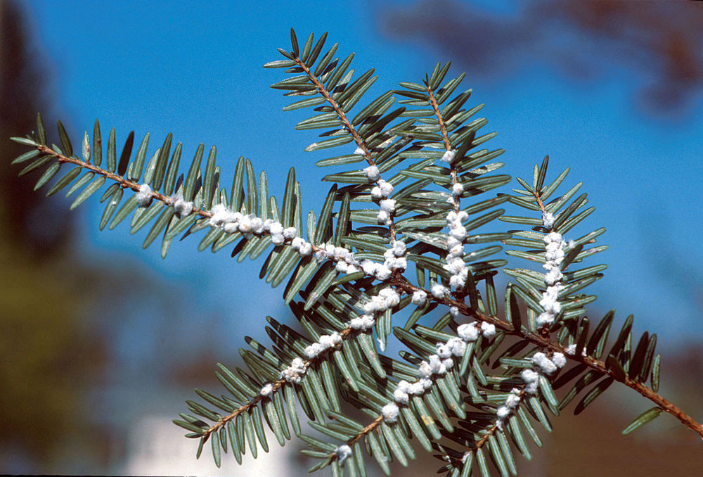 Adelgids - Adelgids are very small piercing-sucking insects that feed on conifers. Some species, like the spruce Gall Adelgid, produce wooly masses, or wax on the twigs located at the base of the needles. Adelgids pierce the plant tissue and extract vital nutrients from the tree.