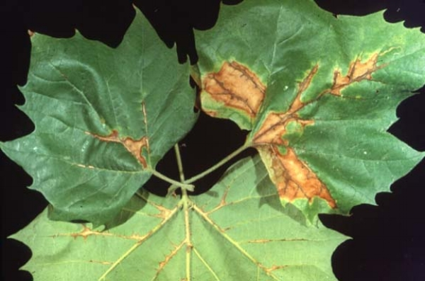 Anthracnose - Anthracnose ( leaf Blight) is a fungal disease that includes many species of fungi and affects many species of trees including ash, dogwood, maple, beech, birch, elm, linden, oak, sycamore, and willow.