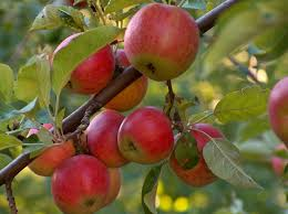 Apple - Apple TREES are fruit-bearing DECIDUOUS trees that grow throughout the United States
