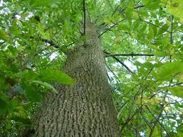 Ash - Ash trees are extremely common throughout the United states. ash tree leaves are found in compound groupings and the bark  frequently has diamond patterns.