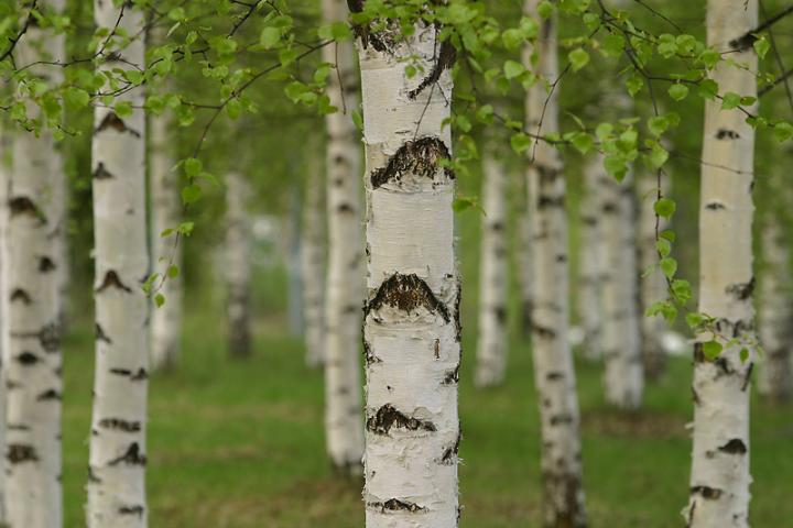 Birch - the birch tree is closely related to the oak and beech families. birch trees are found in mountainous regions THROUGHout the united states.