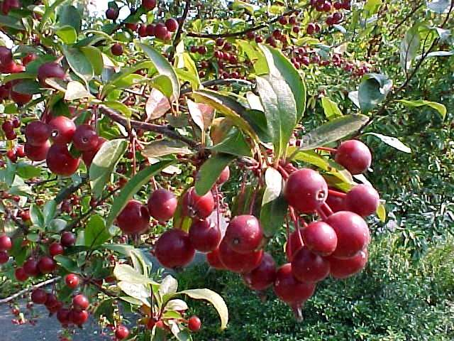 Crab Apple - Crab apple trees can  be found throughout north america and grow to be over 30 feet tall..
