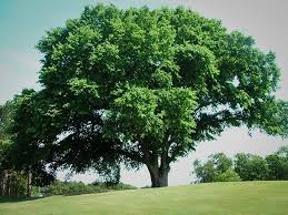 Elm - elm trees are relatively rare throughout urban landscape due to dutch elm disease that killed the majority of trees throughout the united states.