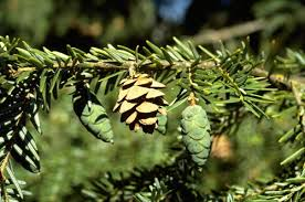 Hemlock - hemlock trees are resinous conifers that can be found in landscapes throughout the eastern united states.