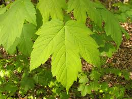 Maple - maples trees are common throughout the natural and urban landscapes of the northeastern united states.