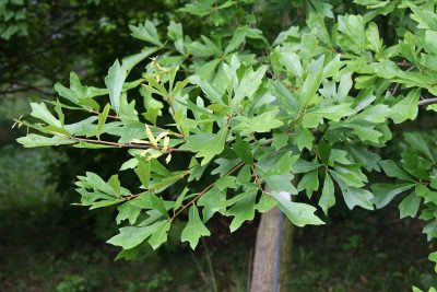 Oak - oak trees are one of the most common varities of tree seen throughout the united states.