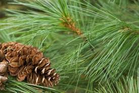 Pine - pine trees are perhaps the most common variety of tree located in both the natural and urban environments of the united states.