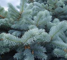 Spruce - The spruce tree is a type of evergreen that is located throughout the northern united states and can grow up to 200 feet tall.