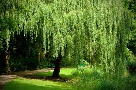 Willow - Willow trees are common throughout the united states and can be found near rivers and lakes.