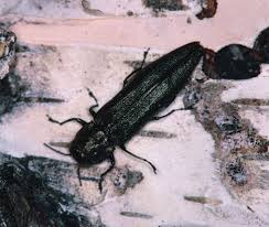 Bronze Birch Borer - THe bronze Birch Borer is a wood-boring beetle, common to the northern part of the united states.We treat trees larger than 6
