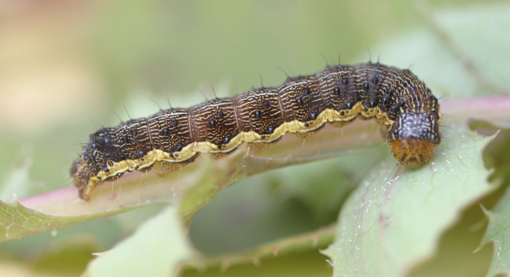 Budworm - Budworm is found in the northern regions of the united states.the early stage larva is a yellowish,pale green with a light brown head. The mature larva is brown with light colored spots along its back.