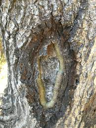 Cankers - cankers are lesions in the trunk or branch often caused by mechanical wounding or a bacterial pathogen.