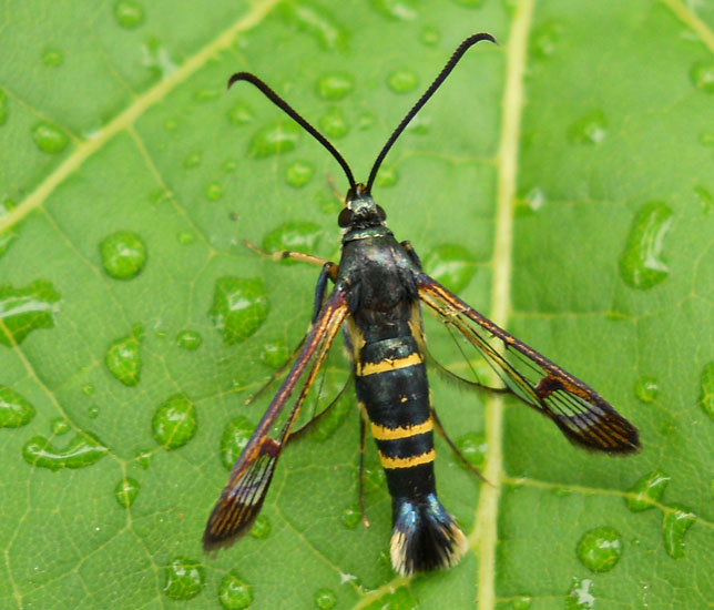 Clearwing Borers - Clearwing borers are moths that resemble wasps or hornets