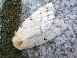 Gypsy Moth - gypsy moths are a very DESTRUCTIVE pest that is best identified by the presence of a caterpillar with rows of  distinctive reddish orange and blue spots .