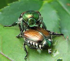 Japanese Beetles - the best EVIDENCE of japanese beetles is the beetle themselves or the lace-like appearance of the leaf.
