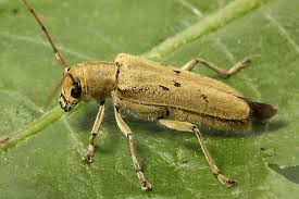 Linden Borers - THe linden borer is a boring beetle that attacks the vascular tissue of linden and poplar trees.