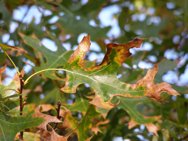 Oak Wilt - Oak Wilt is a fungal disease that plugs  the vascular system of Oaks limiting the trees ability to move water and vital nutrients.