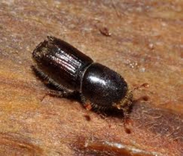 bark beetle1.jpg