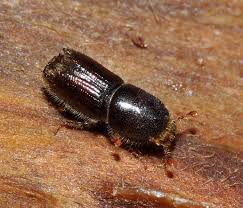 Pine Bark Beetles - Bark Beetles are a boring type of beetle that lives and feeds within the vascular system located just under the bark of the tree.