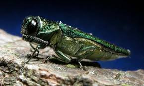 Emerald Ash Borer - The emerald Ash borer feeds on the vascular system of the tree, and is rapidly expanding across the urban landscape.