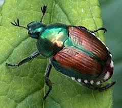 Japanese Beetle -