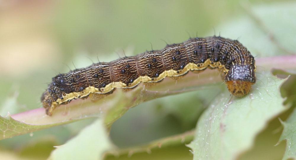 Caterpillars -
