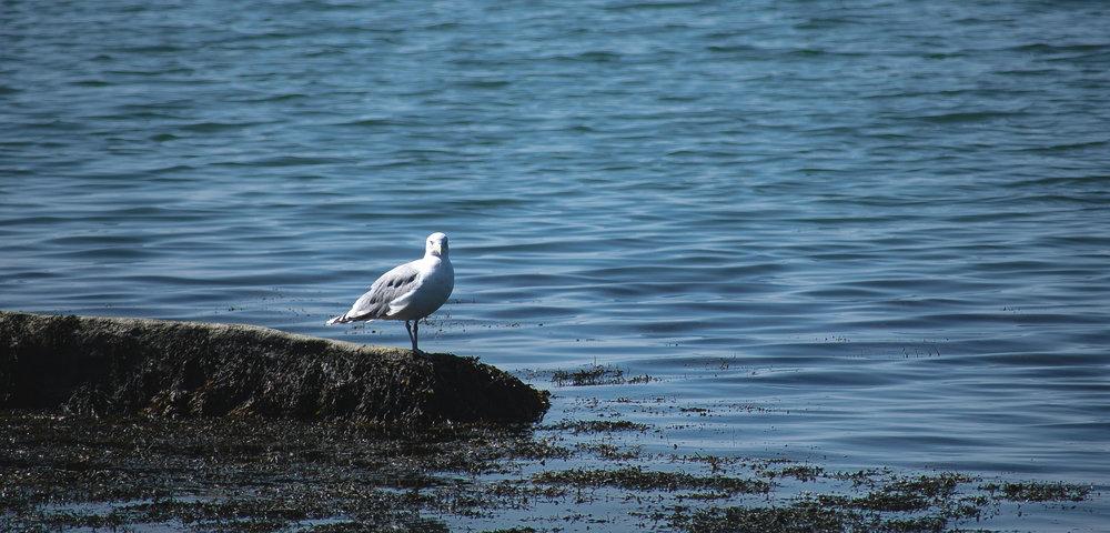 seagull staring.jpg