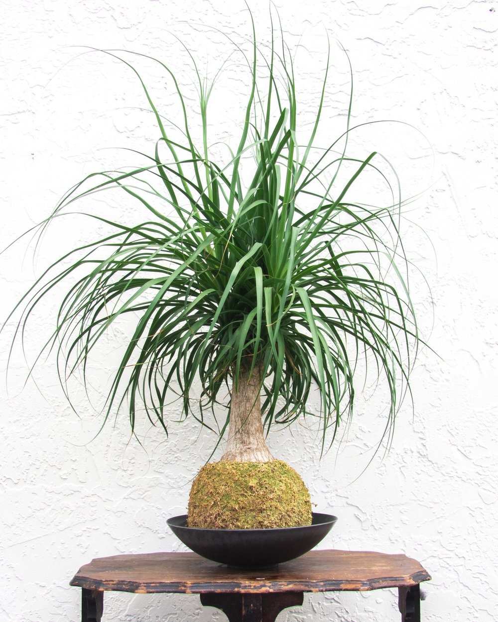 Ponytail Palm L
