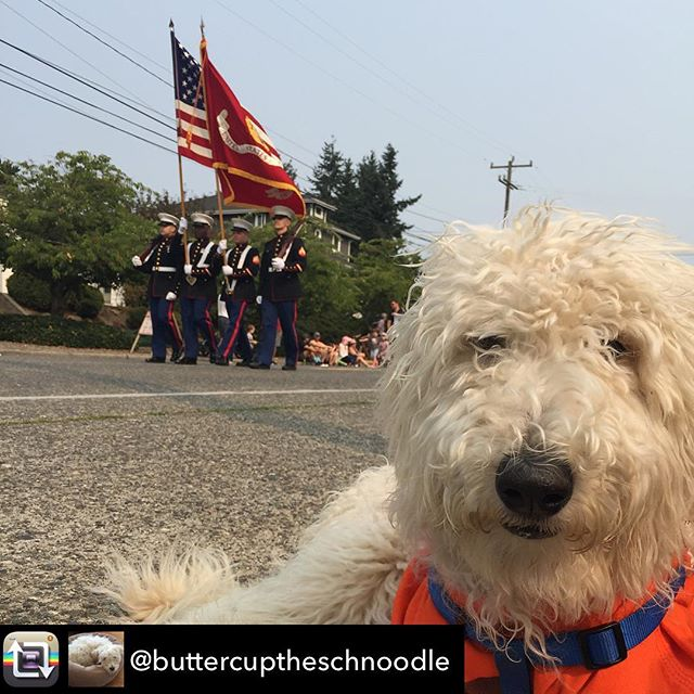 Repost from @buttercuptheschnoodle - Watching the Magnolia #Seafair #parade!  #schnoodlegram #magnoliasummerfest #doodletales #magnoliasummerfest2017