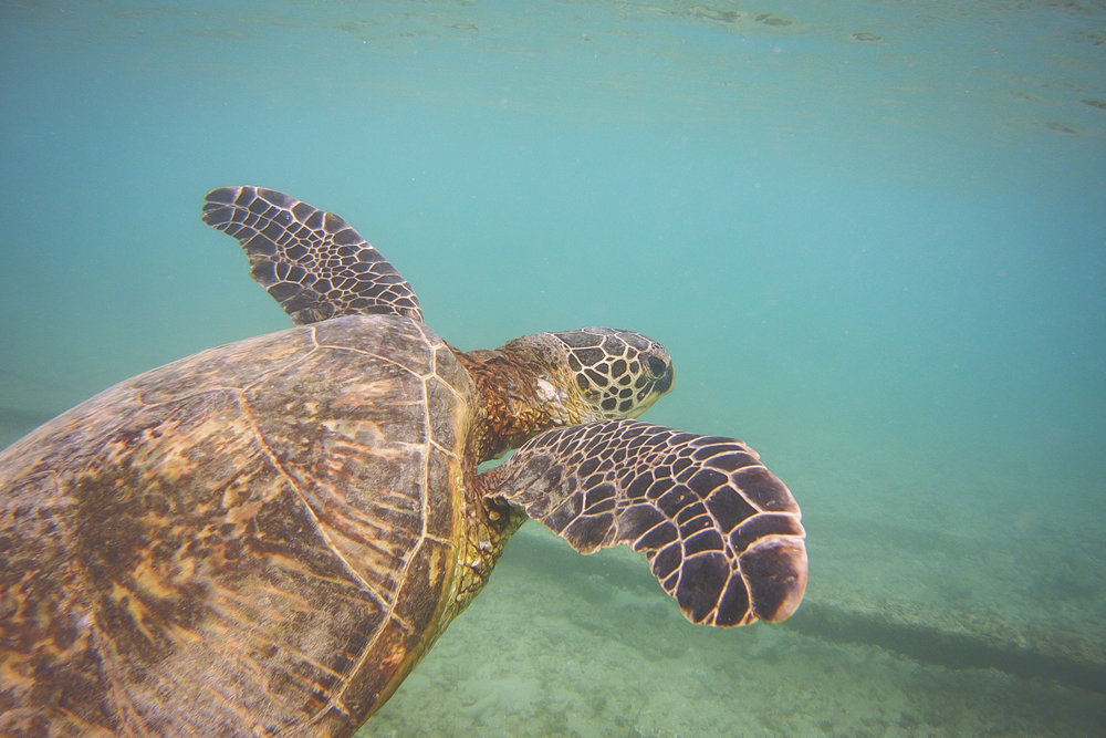 A turtle swoops through the water in Kawela Bay on the island of Oahu. Turtles are protected from humans on the Hawaiian islands, but effects of climate change are taking a toll on their populations.