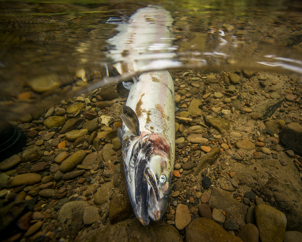 A steelhead comes to the end of its life cycle in Whitaker Creek near Florence Oregon. The fish come back to the creeks to spawn and eventually die.